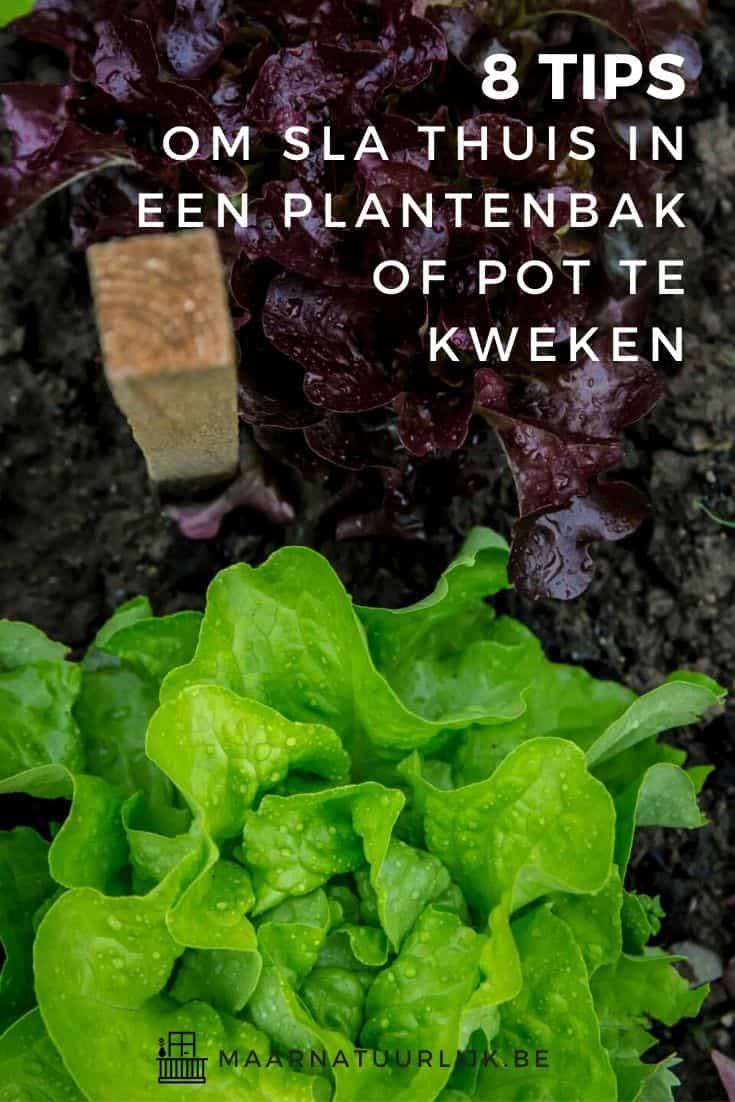 8 tips om sla thuis in een plantenbak of pot te kweken