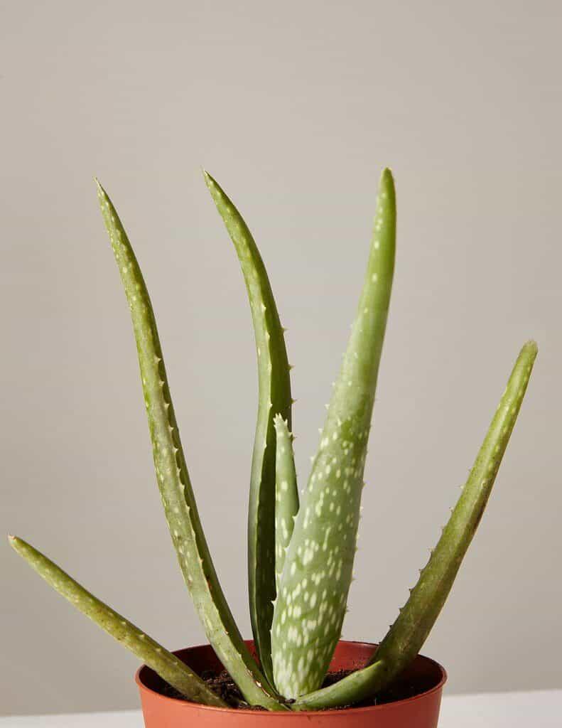 Aloe vera in een pot