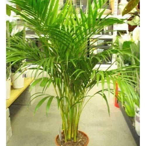 Areca palm kan groot worden