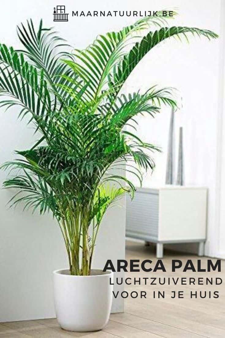 Areca palm luchtzuiverend voor in je huis