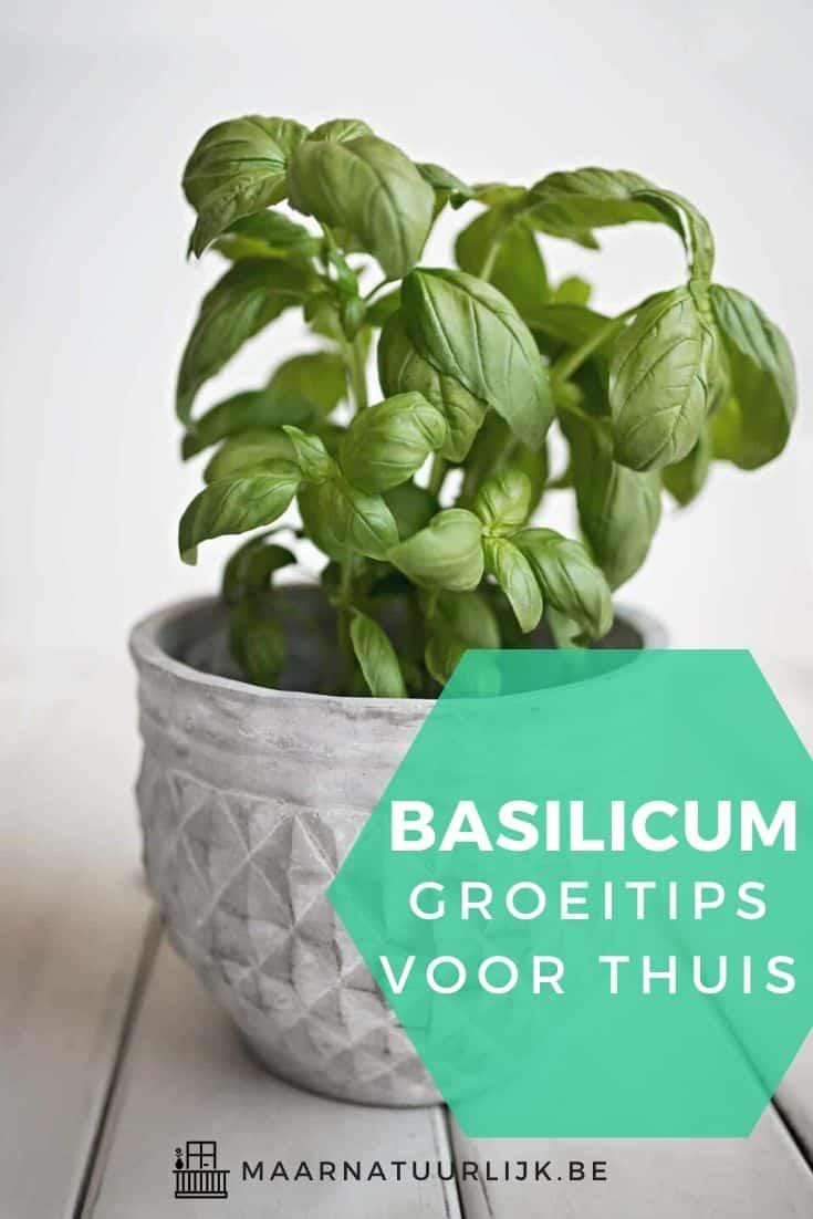Basilicum groeitips voor thuis