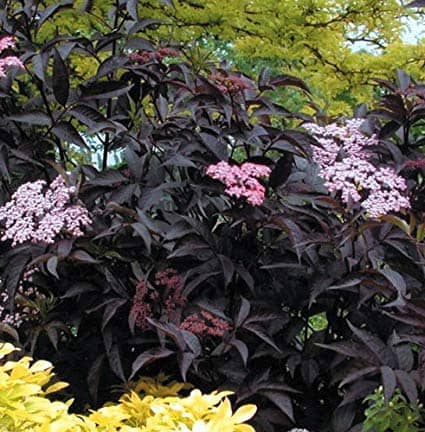 Black Beauty 'Elderberry'