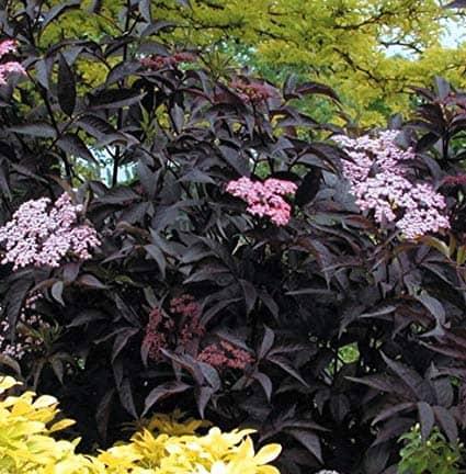 Black Beauty 'Elderberry'