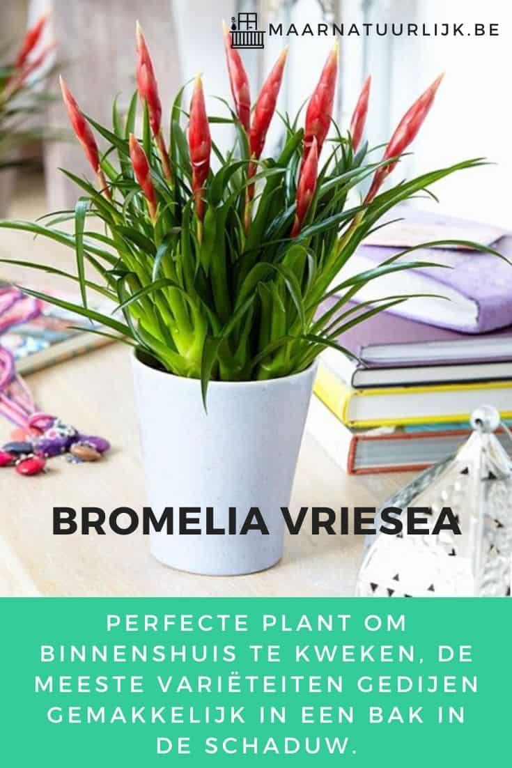 Bromelia Vriesea voor in de schaduw