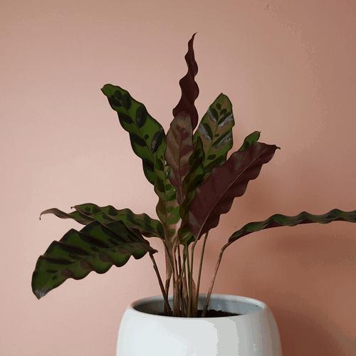 Calathea plant in slecht verlichte huiskamer