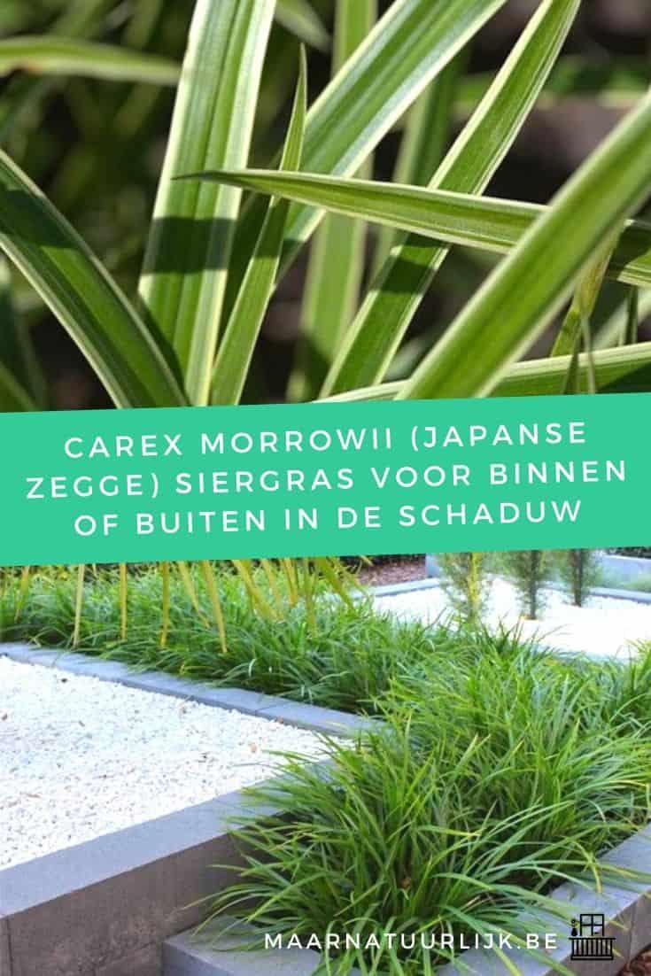 Carex Morrowii (Japanse zegge) siergras voor binnen of buiten in de schaduw