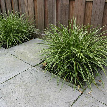 Carex Morrowii in donkere tuin
