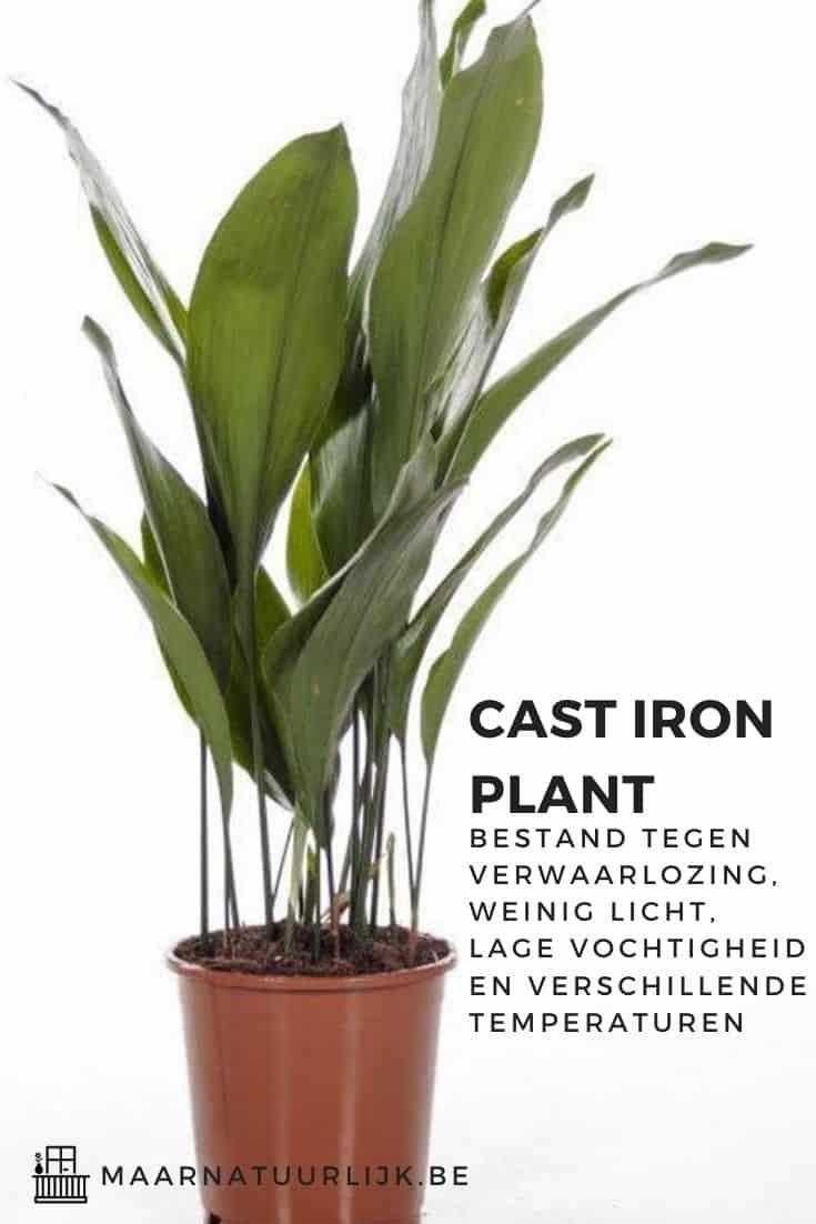 Cast iron plant is een van de gemakkelijkste kamerplanten