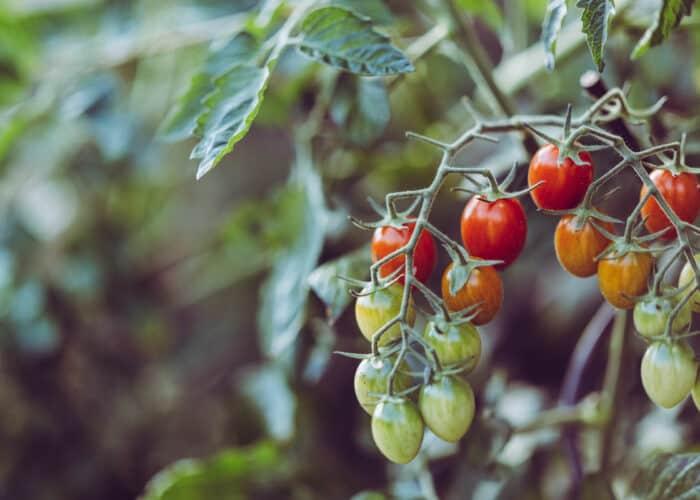 Cherry tomaatjes binnen kweken