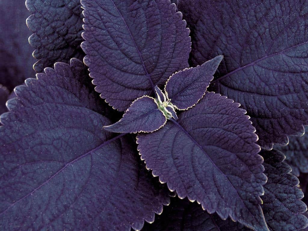 Coleus Black Prince bloem