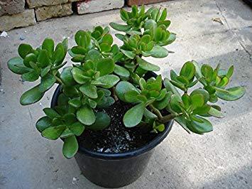 Crassula ovata gemakkelijke kamerplant