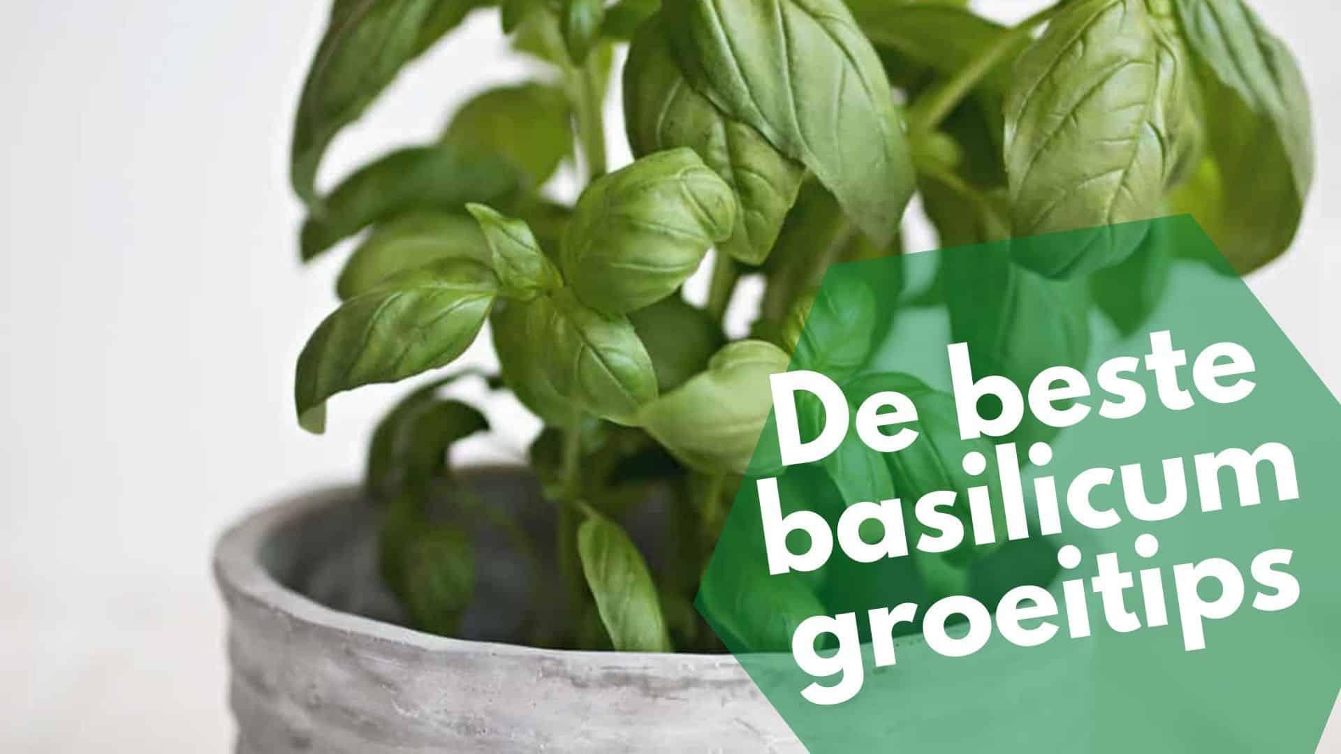 9 basilicum groei tips om de beste basilicumplanten in pot te kweken