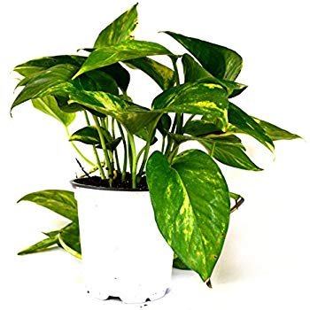 Devil's Ivy Golden Pothos