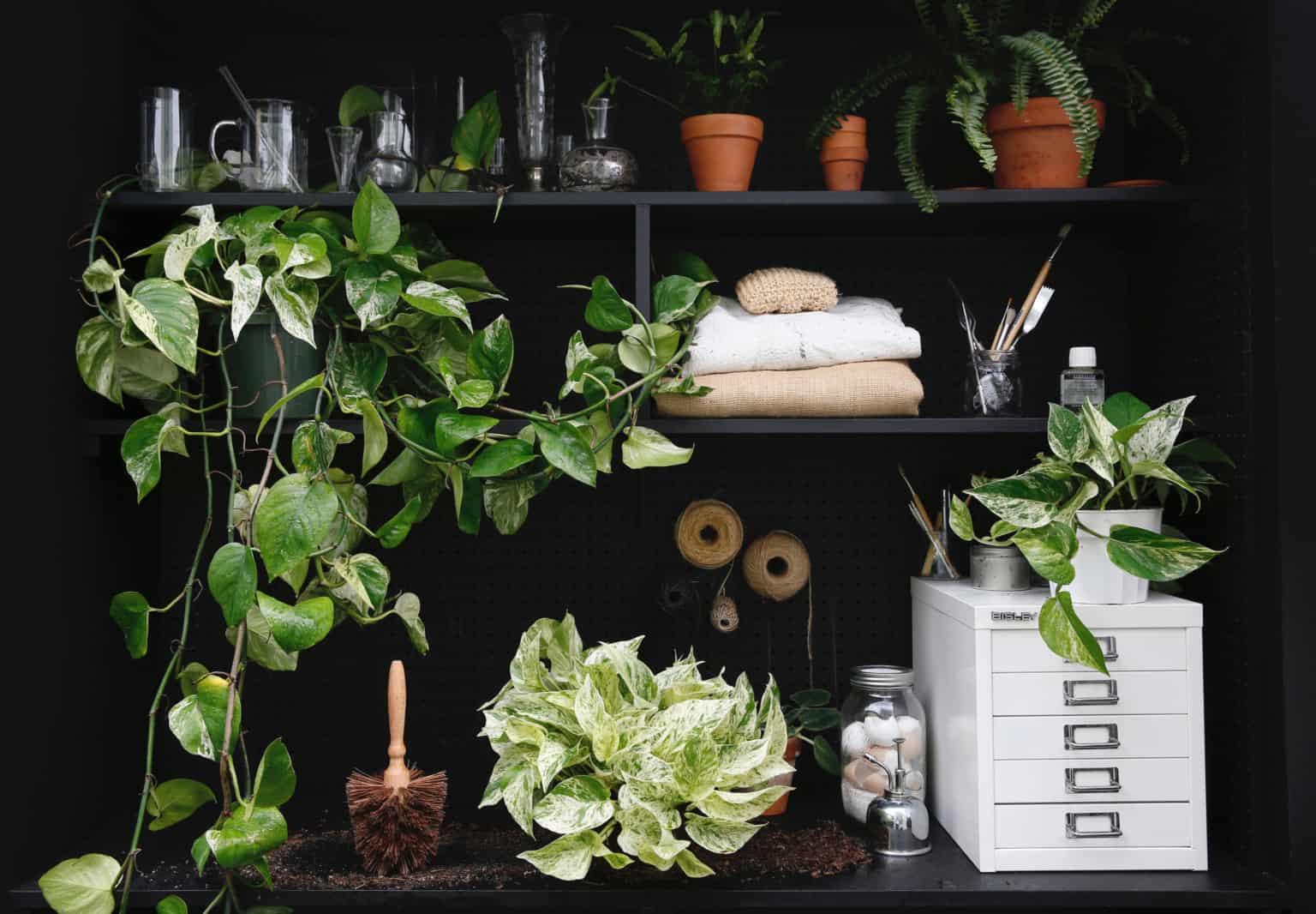 Devil's Ivy / Golden Pothos kamerplant