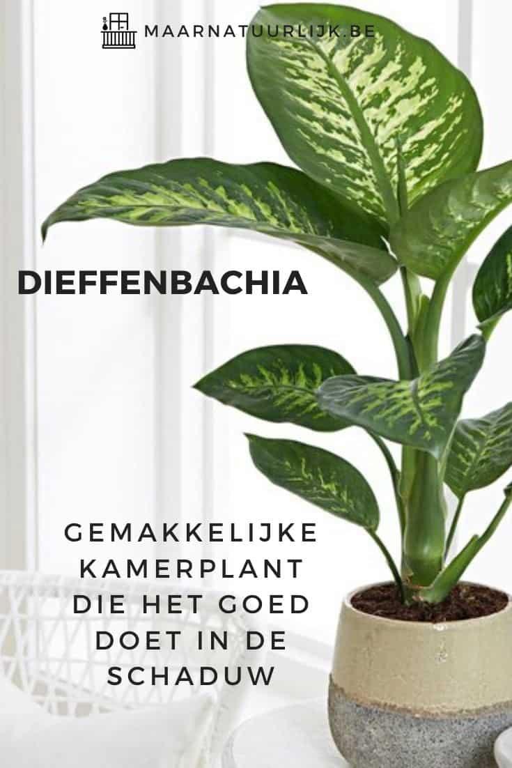Dieffenbachia doet het goed in de schaduw