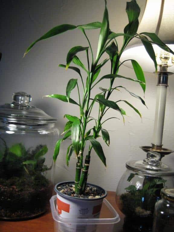 Dracaena Sanderiana bamboe
