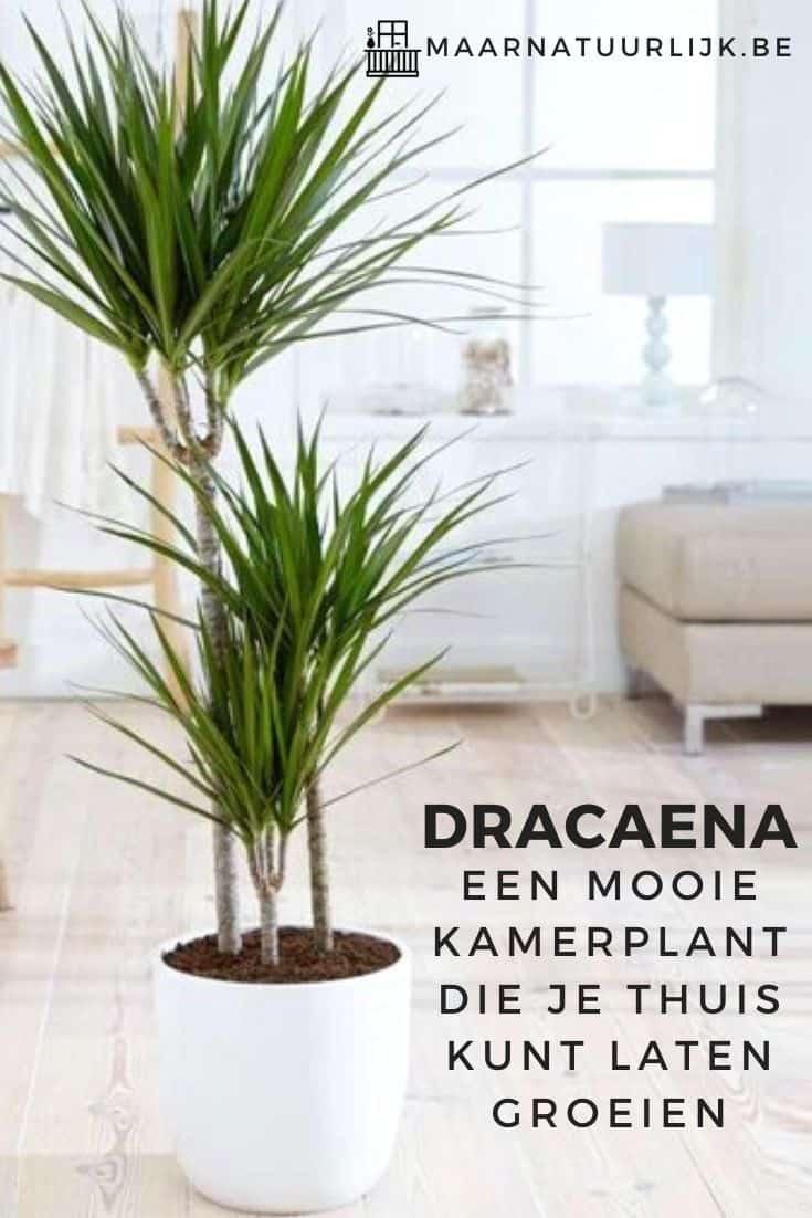 Dracaena een mooie kamerplant die je thuis kunt laten groeien