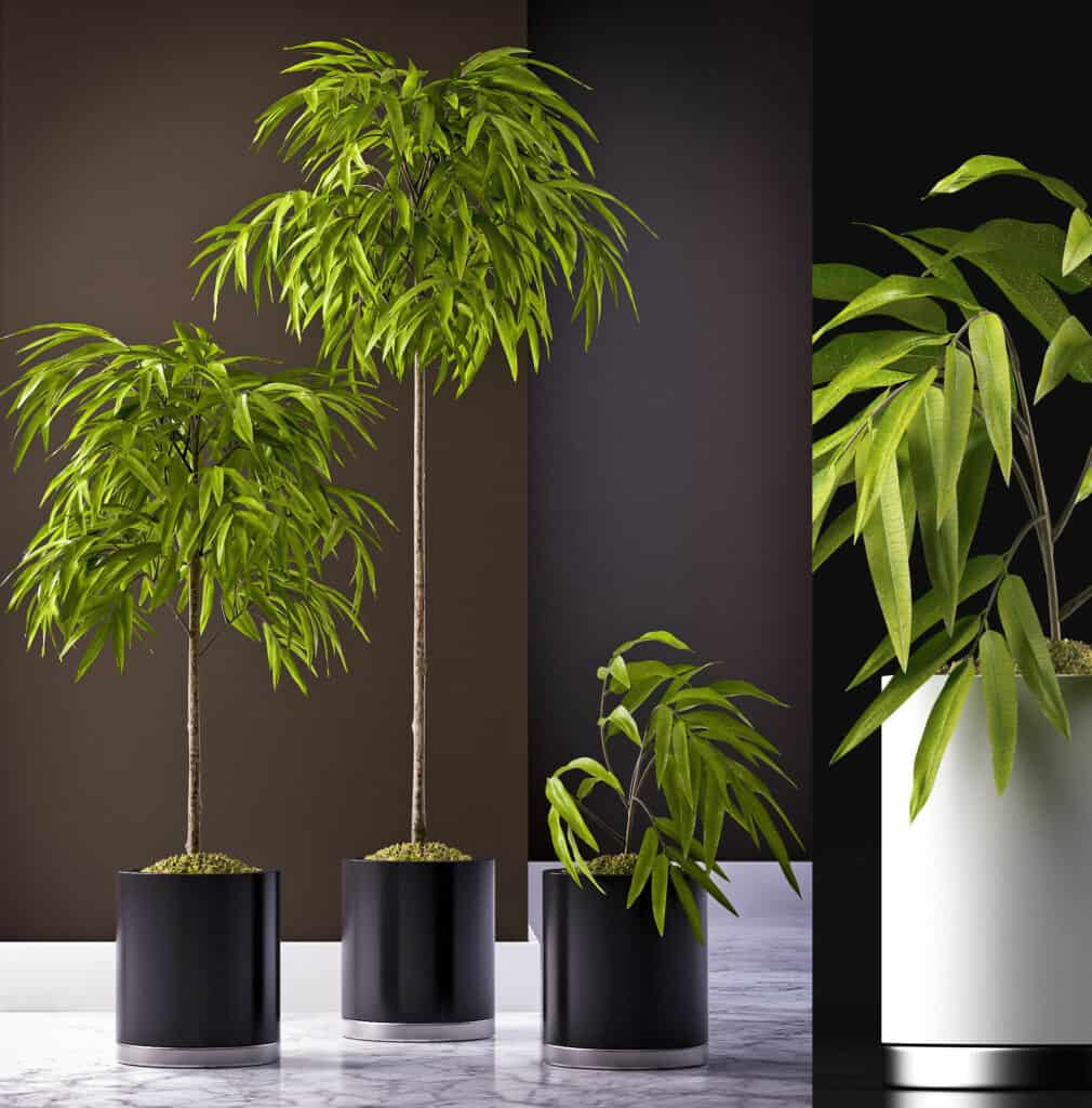 Ficus Alii gezonde kamerplant