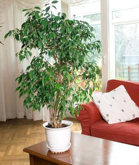 Ficus is een hoge kamerplant