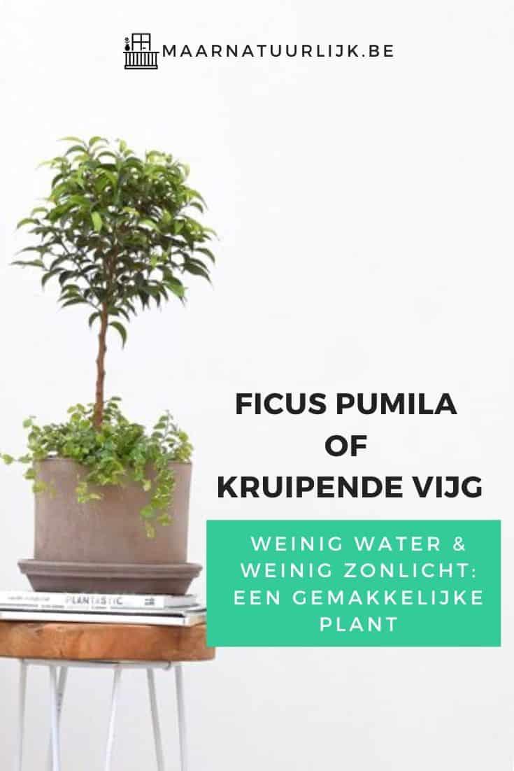 Ficus pumila of kruipende vijg plant met weinig water