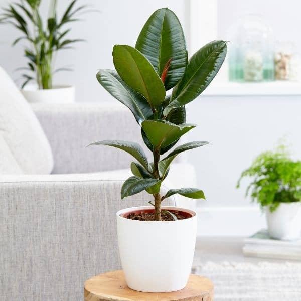 Ficus robusta luchtzuiverende kamerplant
