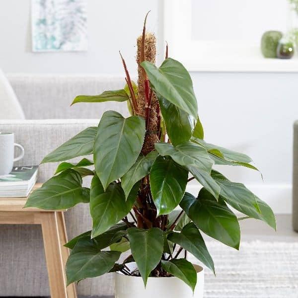 Gemakkelijke huiskamerplant Philodendron
