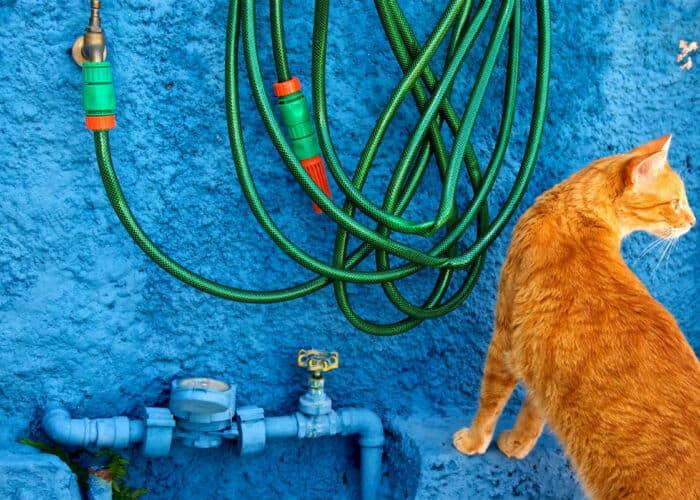 Hoe kweek je kattengras binnen