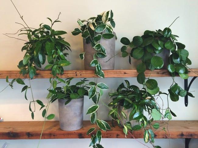 Hoya carnosa op plankjes binnen