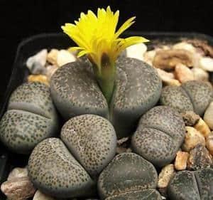 Lithops levende steentjes