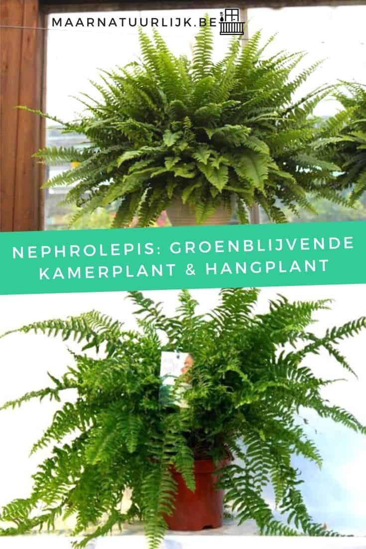 Nephrolepis: groenblijvende kamerplant & hangplant