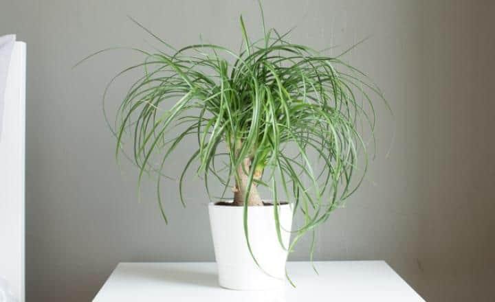 Paardenstaartpalm