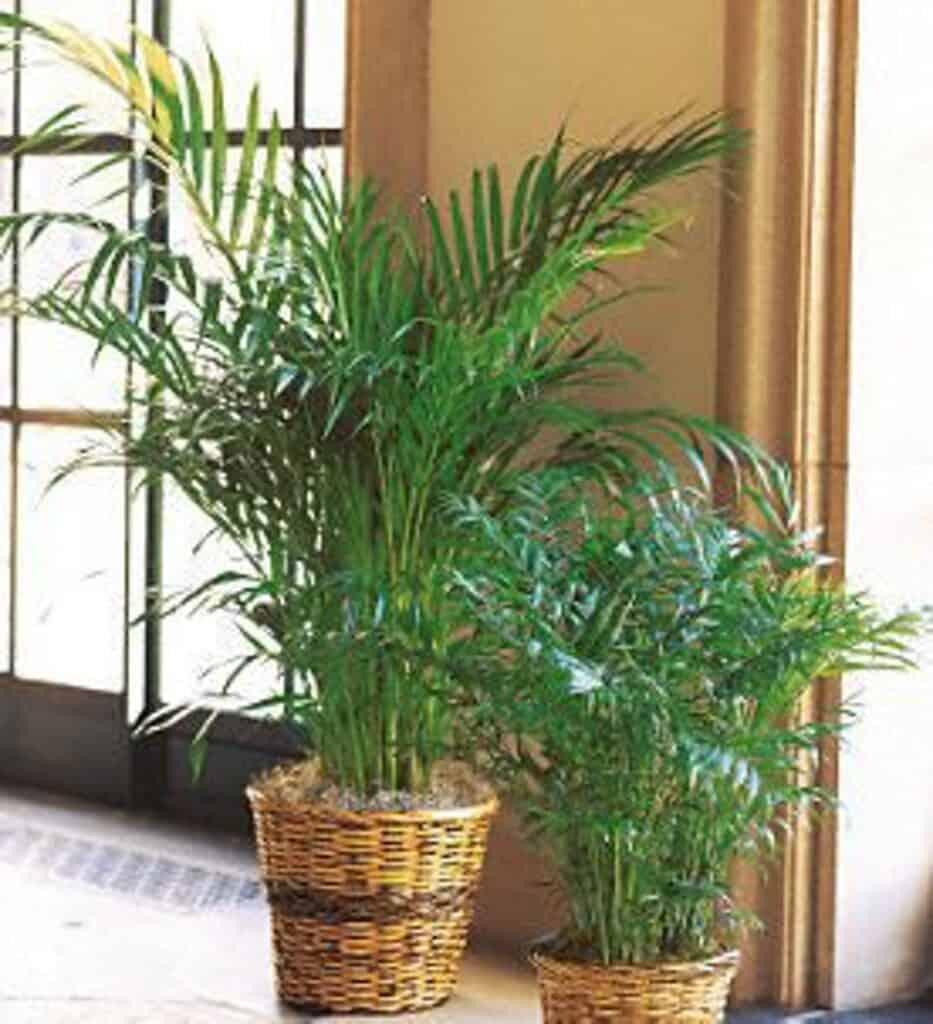 Parlor Palm heeft geen zonlicht nodig