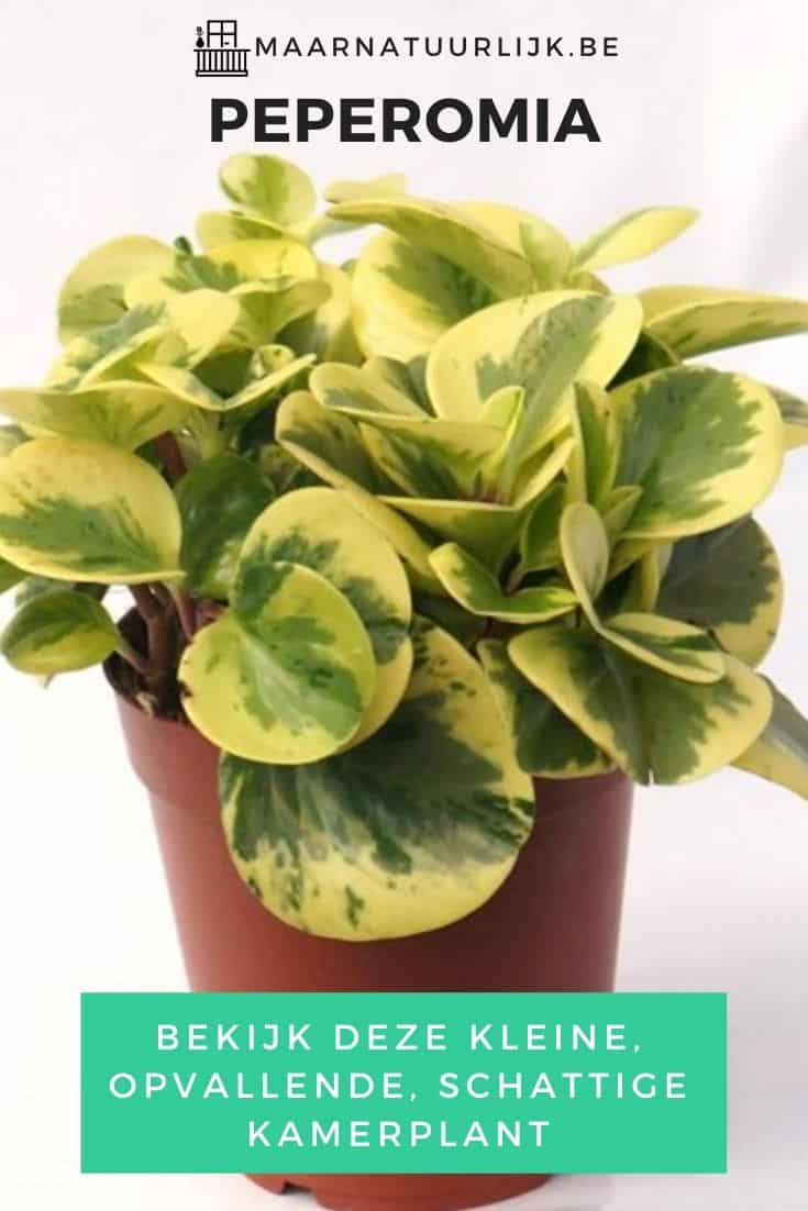 Peperomia opvallende kamerplant