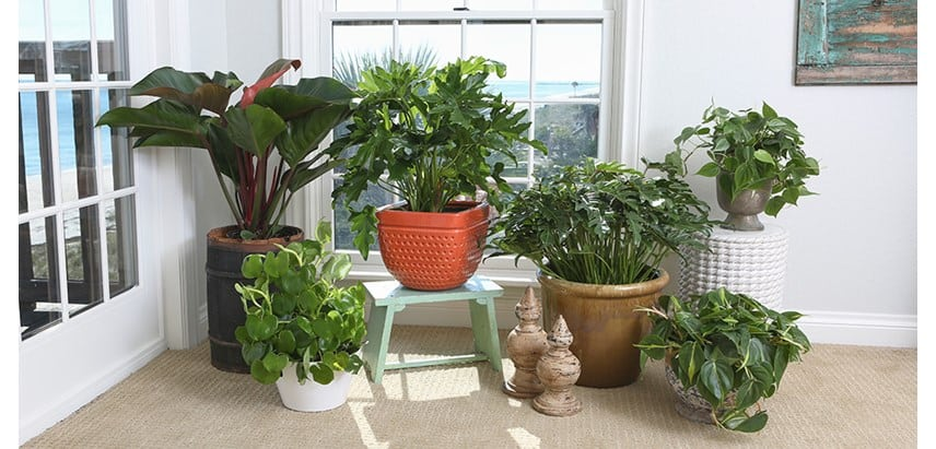 Philodendron als grote kamerplant