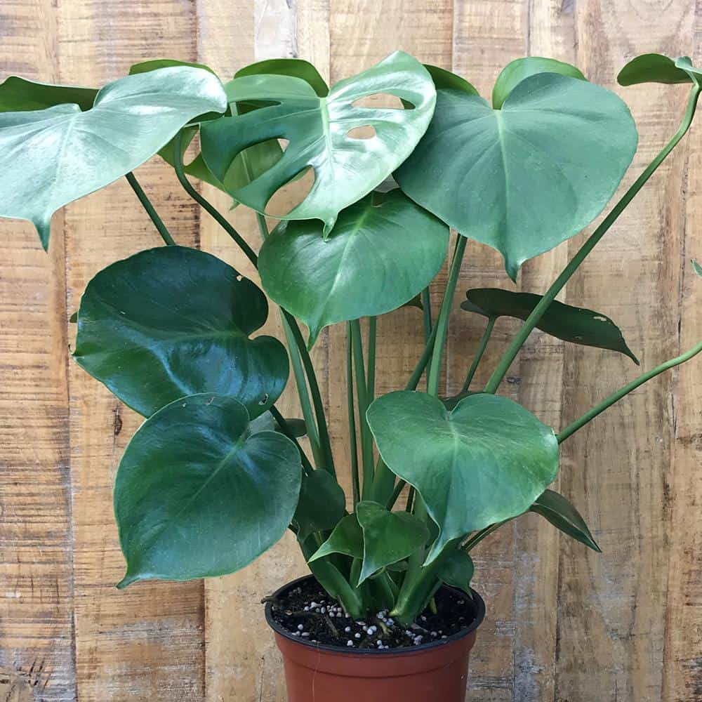 Philodendron bij donkere schutting