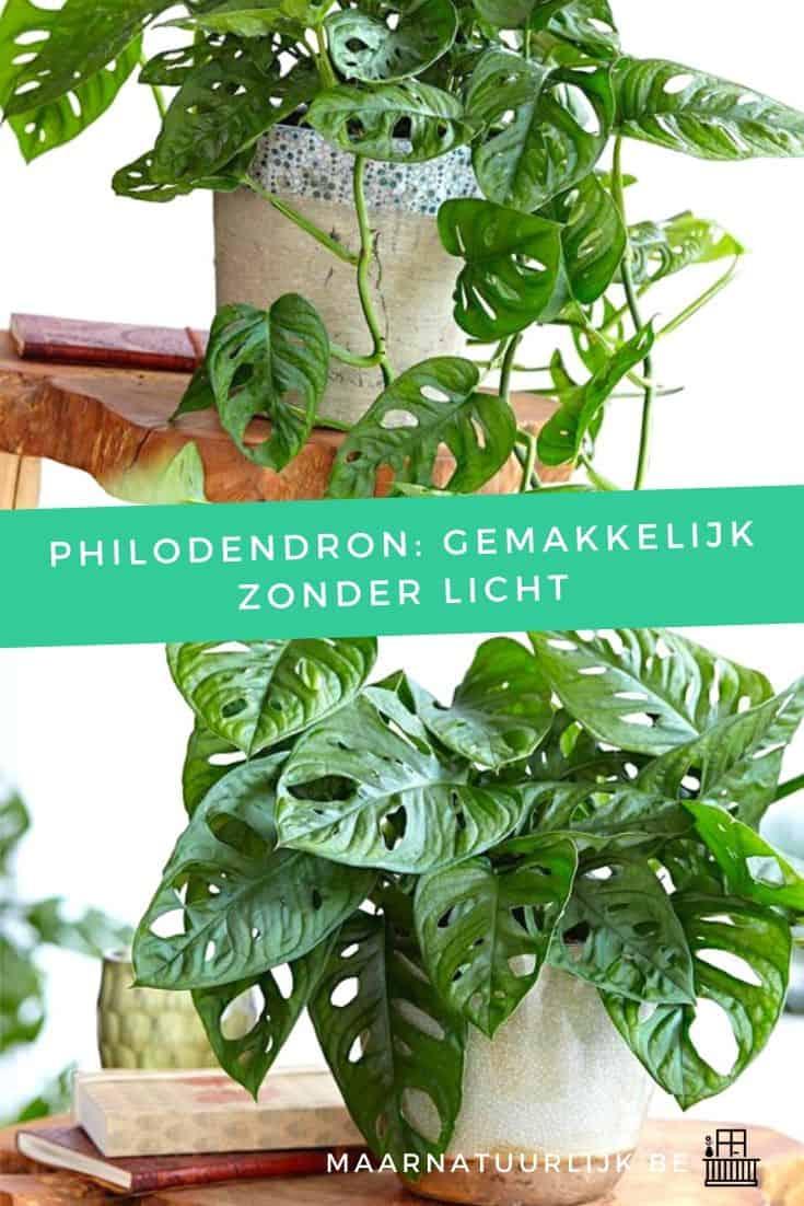 Philodendron: gemakkelijk zonder licht