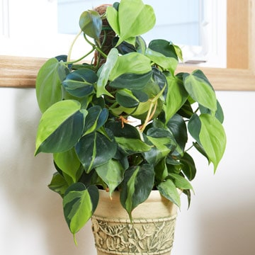 Philodendron zuurstof makende plant