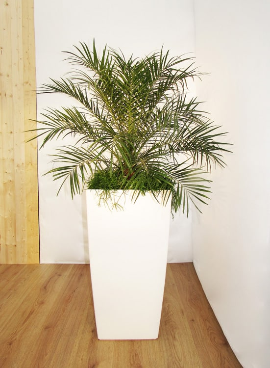 Phoenix roebelenii plant