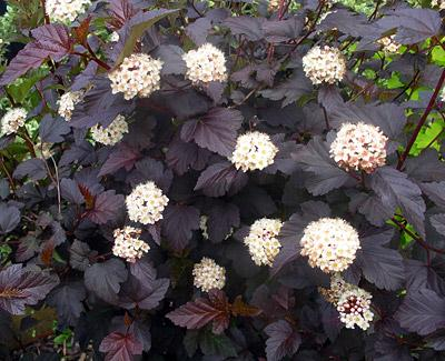 Physocarpus Opulifolius black little devil
