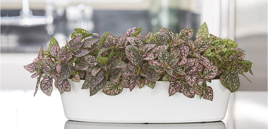 Polkadot plant is een kleine plantenbak