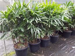 Rhapis excelsa luchtzuiverende plant