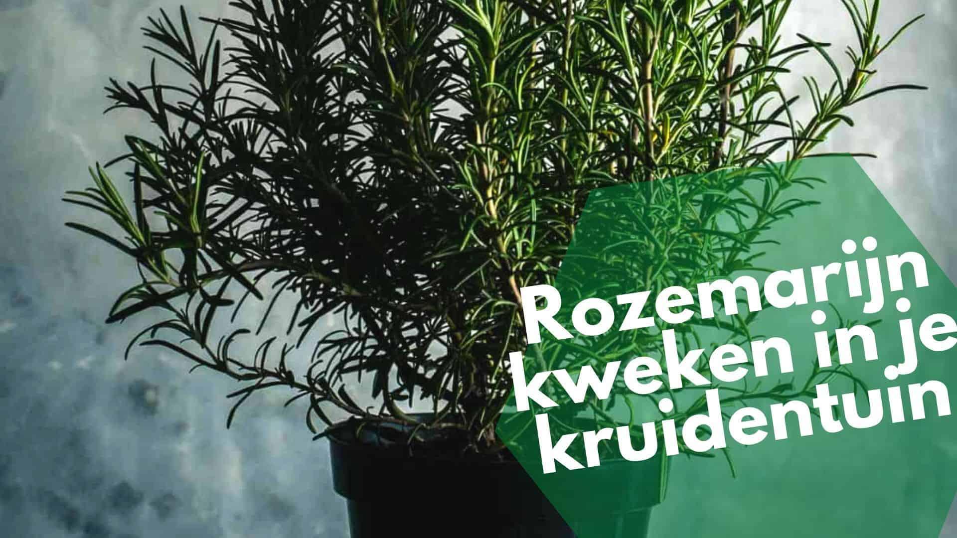 Rozemarijn in je kruidentuin   planten, kweken, laten groeien en oogsten