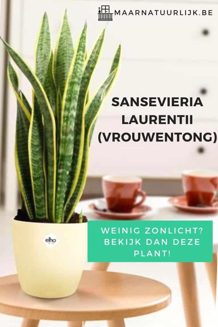 Sansevieria Laurentii (vrouwentong) voor een kamer met weinig zonlicht