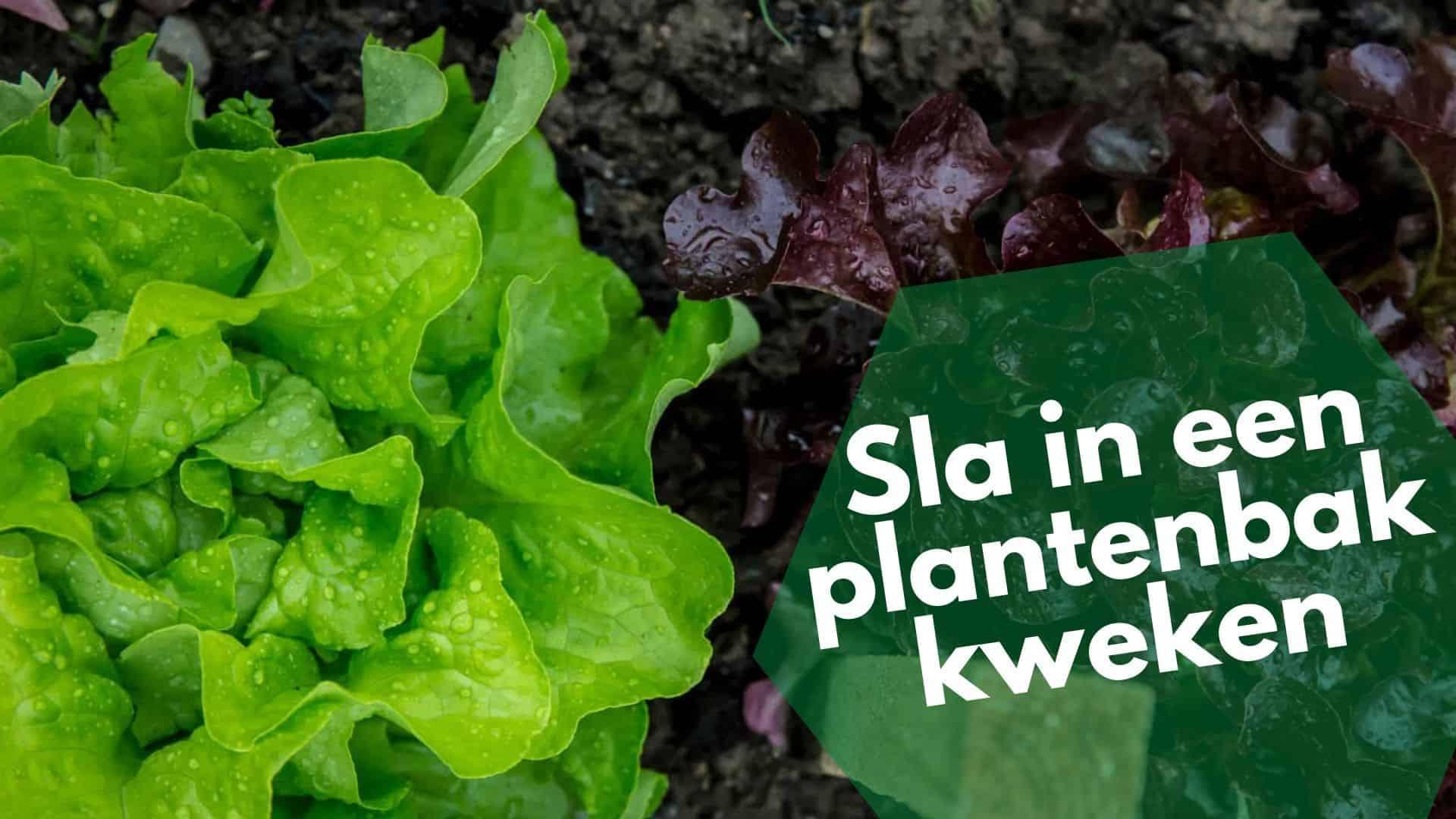 Sla in een plantenbak laten groeien   Hoe kweek je sla in een pot?