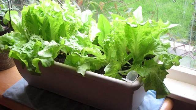 Sla in een plantenbak