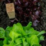 Sla in een plantenbak laten groeien | Hoe kweek je sla in een pot?