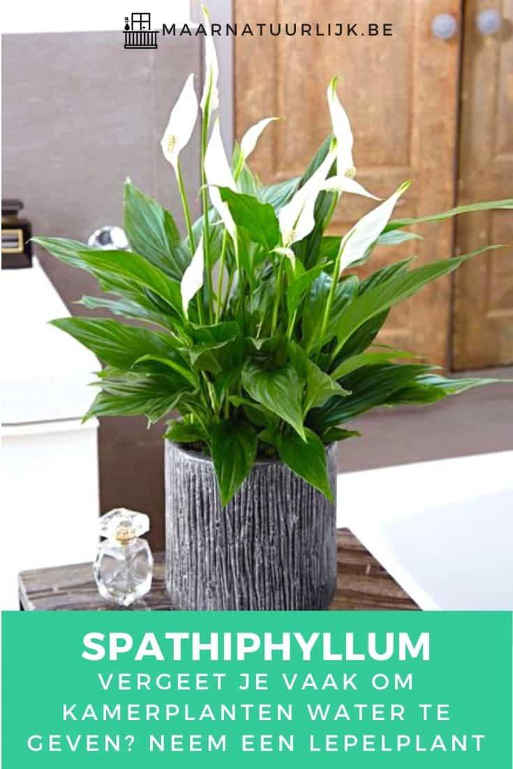 Spathiphyllum heeft weinig water nodig