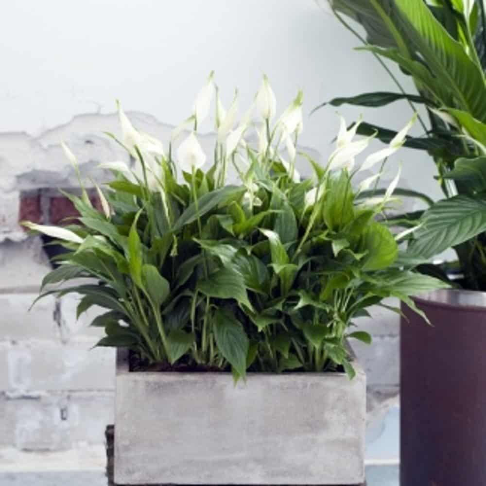 Spathiphyllum palm
