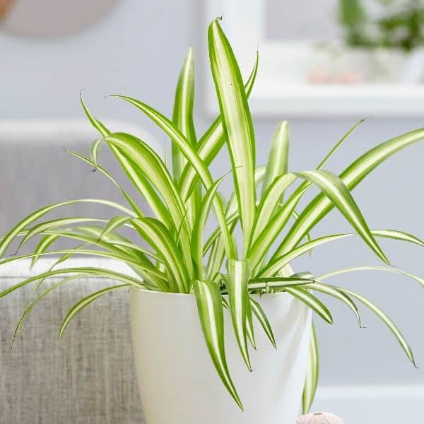 Spiderplant bij bank
