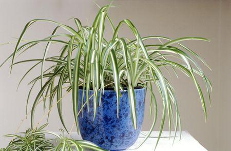 Spiderplant voor in huis